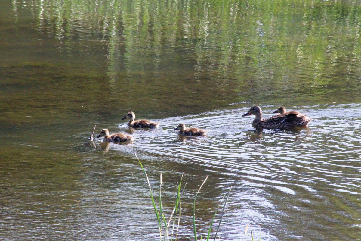 baby_ducks